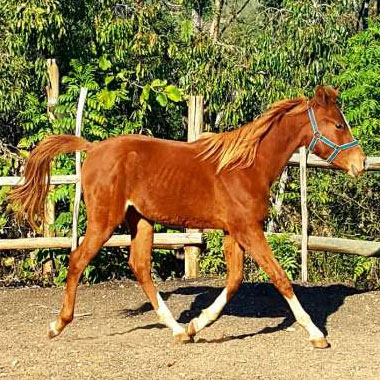 Doornhoek Duke of Hearts - Chestnut Arabian Colt<br>