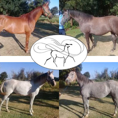 Al Shama Horses - 1 x Arabian Chestnut Gelding<br>