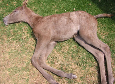 Lavender Foal Syndrome