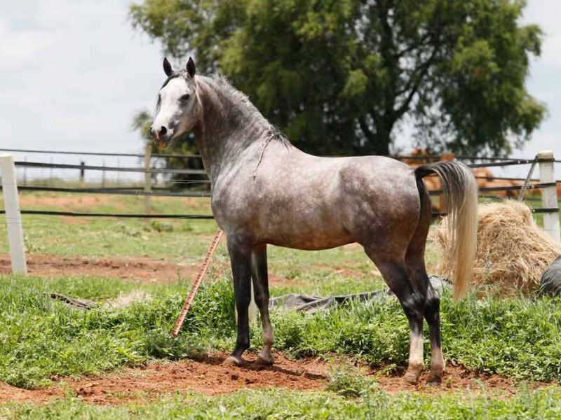 Inshallah Silver Ripple - Inshallah Silver Ripple is standing at Olford & Dartford Arabians stud.