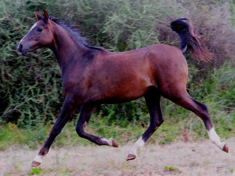 Olford Silver Snap - Olford Silver Snap is standing at Olford & Dartford Arabians stud.
